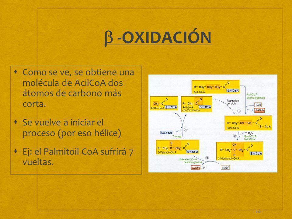 20 -OXIDACIÓN Como se ve, se obtiene una molécula de AcilCoA dos átomos de carbono más corta. Se vuelve a iniciar el proceso (por eso hélice) Ej: el P