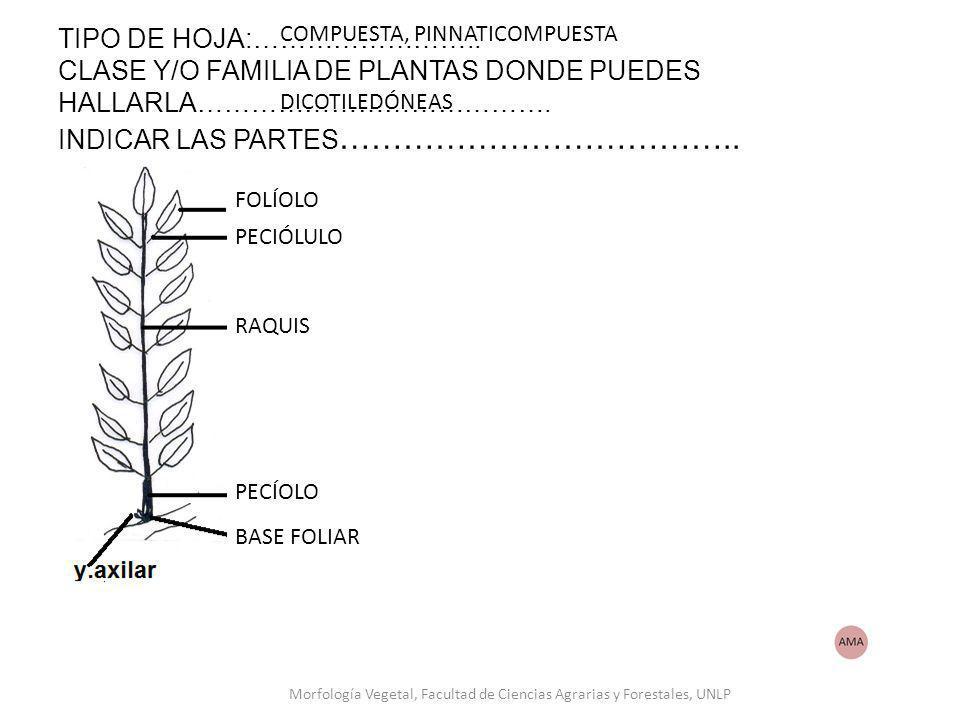 TIPO DE HOJA:…………………….. CLASE Y/O FAMILIA DE PLANTAS DONDE PUEDES HALLARLA…………………………………. INDICAR LAS PARTES ……………………………….. COMPUESTA, PINNATICOMPUESTA