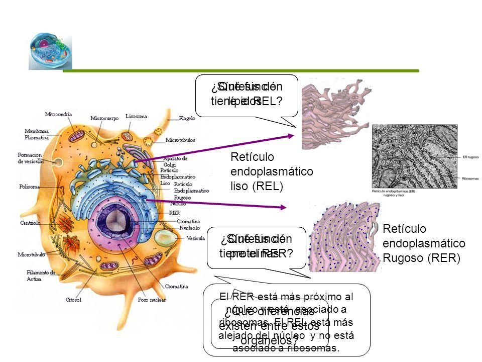 Retículo endoplasmático liso (REL) ¿Qué función tiene el REL? Retículo endoplasmático Rugoso (RER) ¿Qué función tiene el RER? ¿Qué diferencias existen