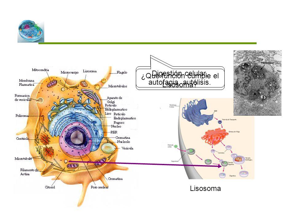 ¿Qué función cumple el Lisosoma? Lisosoma Digestión celular, autofagia, autólisis.