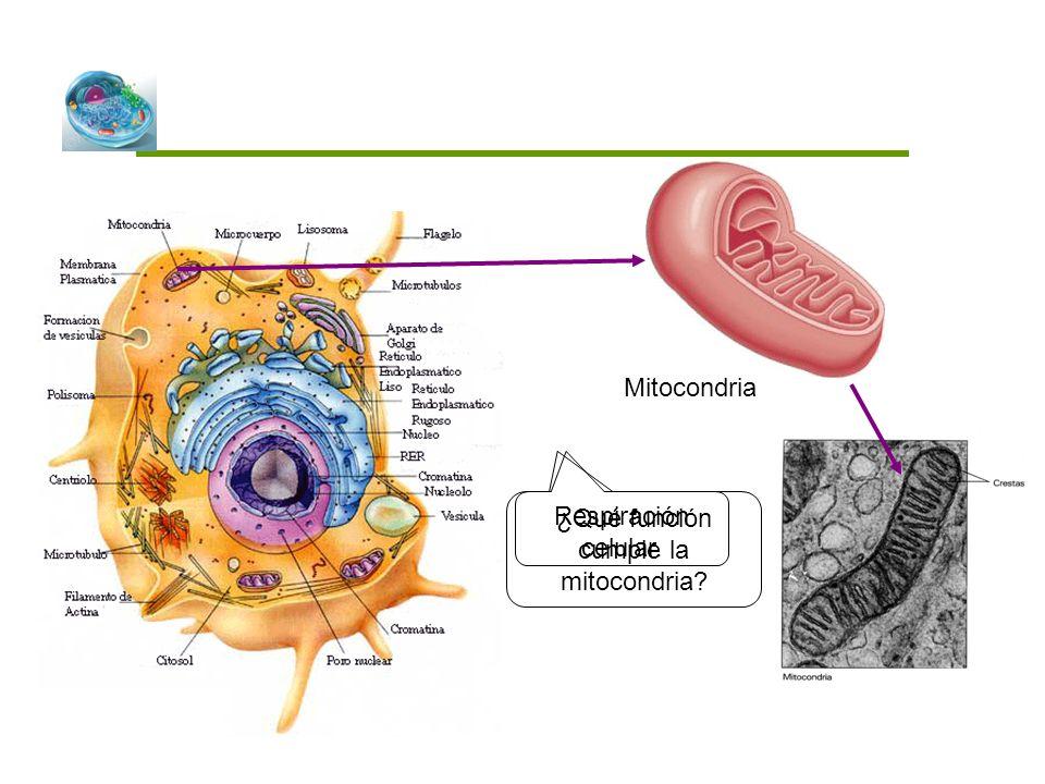 ¿Qué función cumple la mitocondria? Mitocondria Respiración celular.