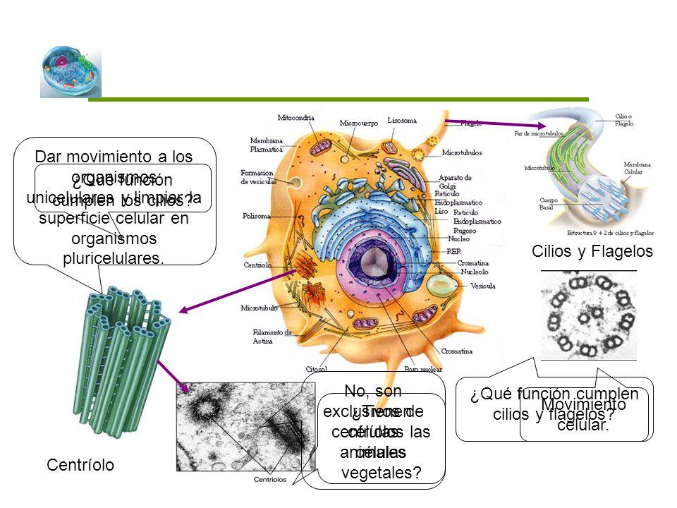 ¿Qué función cumplen cilios y flagelos? Dar movimiento a los organismos unicelulares y limpiar la superficie celular en organismos pluricelulares. Cen