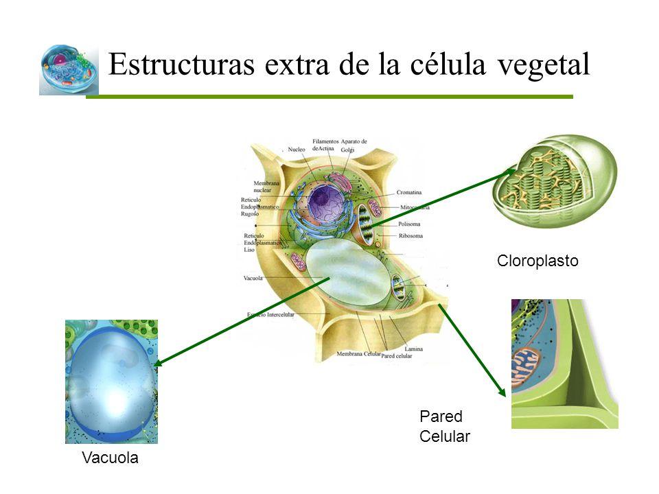 Estructuras extra de la célula vegetal Vacuola Pared Celular Cloroplasto