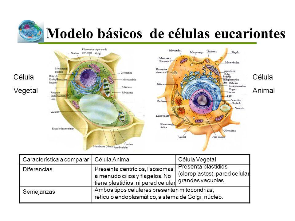 Modelo básicos de células eucariontes Célula Animal Célula Vegetal Característica a compararCélula AnimalCélula Vegetal Diferencias Semejanzas Present