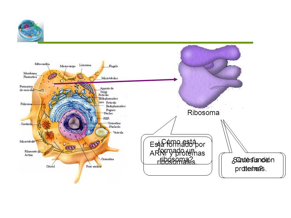 ¿Cómo está formado un ribosoma? ¿Qué función tiene? Ribosoma Está formado por ARNr y proteínas ribosomales. Síntesis de proteínas.