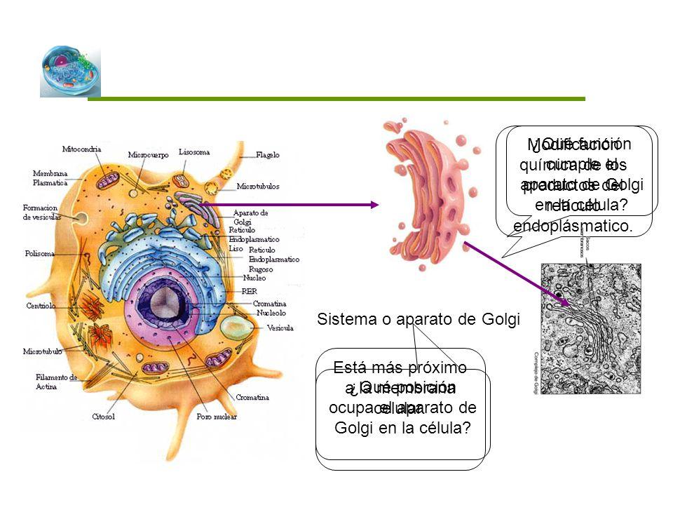 Sistema o aparato de Golgi ¿Qué posición ocupa el aparato de Golgi en la célula? ¿Qué función cumple el aparato de Golgi en la célula? Modificación qu