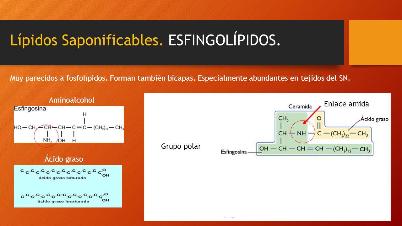 Lípidos Saponificables. ESFINGOLÍPIDOS. Muy parecidos a fosfolípidos. Forman también bicapas. Especialmente abundantes en tejidos del SN. Aminoalcohol