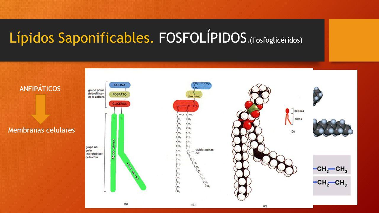 Lípidos Saponificables. FOSFOLÍPIDOS.(Fosfoglicéridos) Saturado Insaturado Ácido fosfatídicoANFIPÁTICOS Membranas celulares