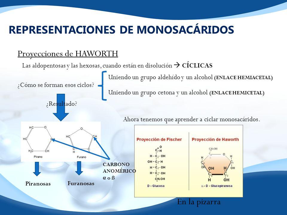 REPRESENTACIONES DE MONOSACÁRIDOS Es importante que sepáis que, en el medio acuoso celular, los monosacáridos no se encuentran en la forma de haworth ya que la presencia de enlaces covalentes sencillos no permite que la molécula pueda ser plana.