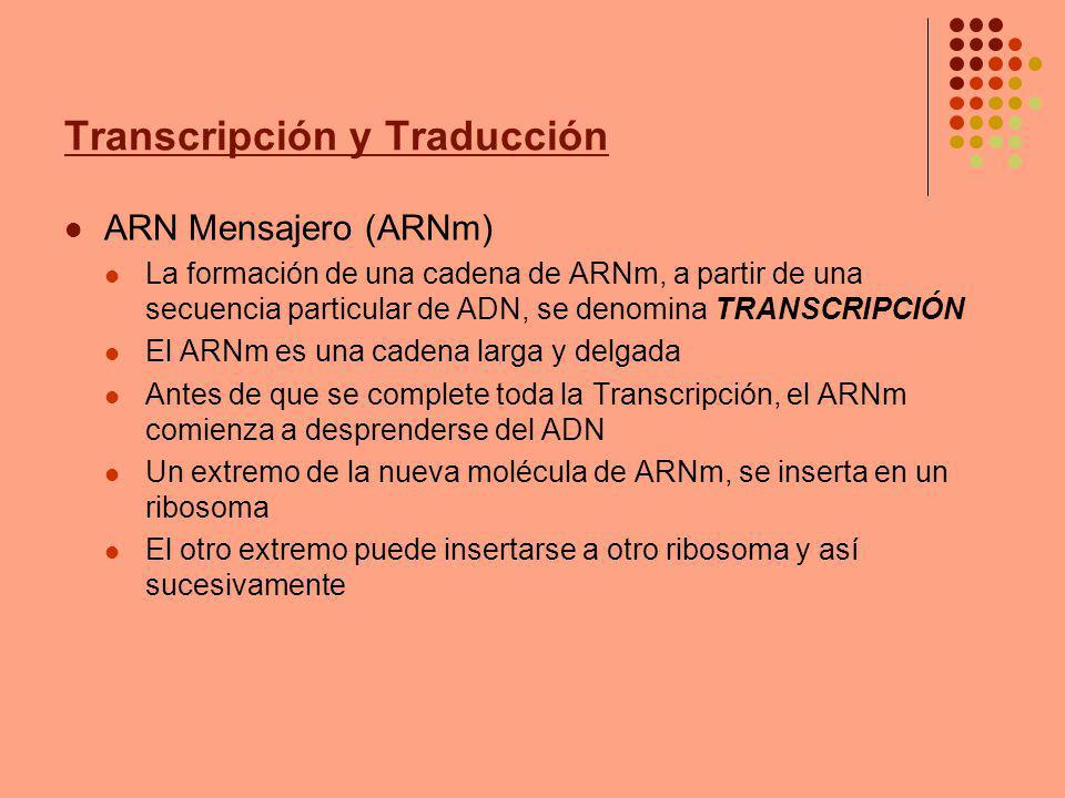 Transcripción y Traducción ARN Mensajero (ARNm) La formación de una cadena de ARNm, a partir de una secuencia particular de ADN, se denomina TRANSCRIP