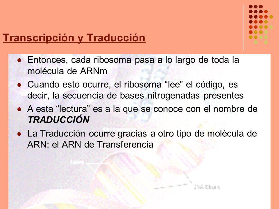 Transcripción y Traducción Entonces, cada ribosoma pasa a lo largo de toda la molécula de ARNm Cuando esto ocurre, el ribosoma lee el código, es decir, la secuencia de bases nitrogenadas presentes A esta lectura es a la que se conoce con el nombre de TRADUCCIÓN La Traducción ocurre gracias a otro tipo de molécula de ARN: el ARN de Transferencia