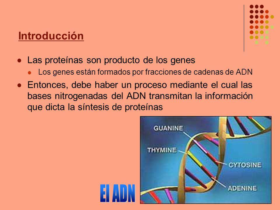 Introducción Las proteínas son producto de los genes Los genes están formados por fracciones de cadenas de ADN Entonces, debe haber un proceso mediant