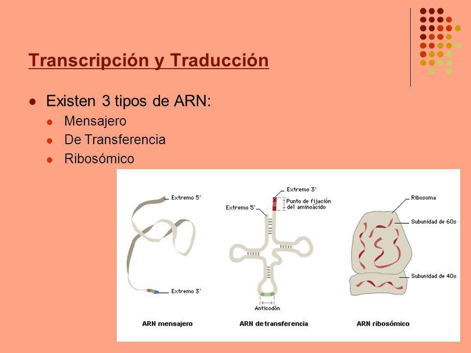 Transcripción y Traducción ARN Mensajero (ARNm) La formación de una cadena de ARNm, a partir de una secuencia particular de ADN, se denomina TRANSCRIPCIÓN El ARNm es una cadena larga y delgada Antes de que se complete toda la Transcripción, el ARNm comienza a desprenderse del ADN Un extremo de la nueva molécula de ARNm, se inserta en un ribosoma El otro extremo puede insertarse a otro ribosoma y así sucesivamente