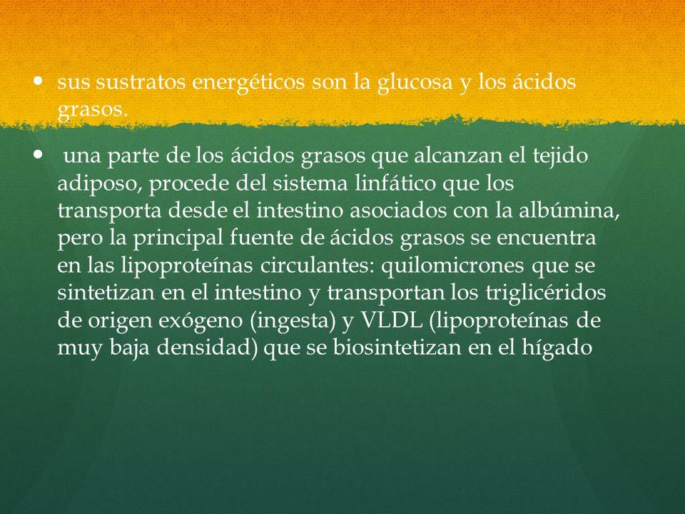 sus sustratos energéticos son la glucosa y los ácidos grasos.