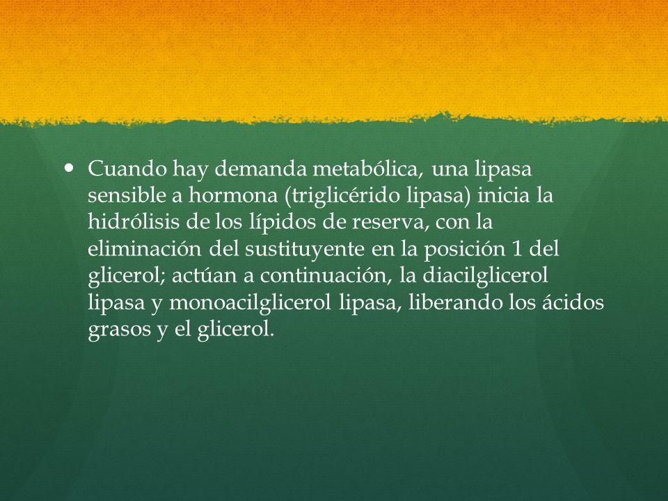 Cuando hay demanda metabólica, una lipasa sensible a hormona (triglicérido lipasa) inicia la hidrólisis de los lípidos de reserva, con la eliminación del sustituyente en la posición 1 del glicerol; actúan a continuación, la diacilglicerol lipasa y monoacilglicerol lipasa, liberando los ácidos grasos y el glicerol.