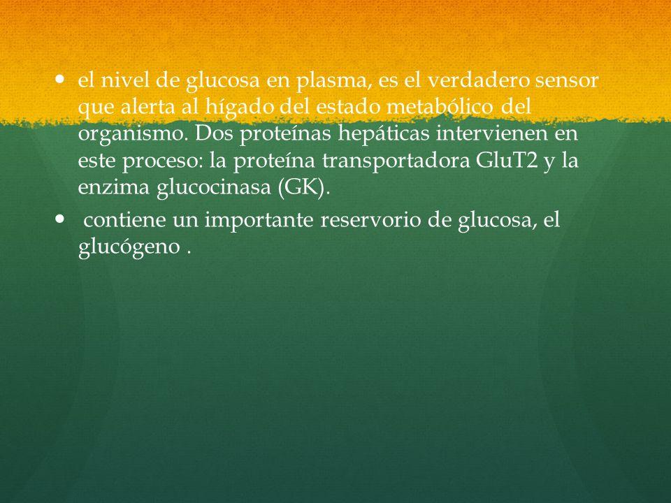 el nivel de glucosa en plasma, es el verdadero sensor que alerta al hígado del estado metabólico del organismo.