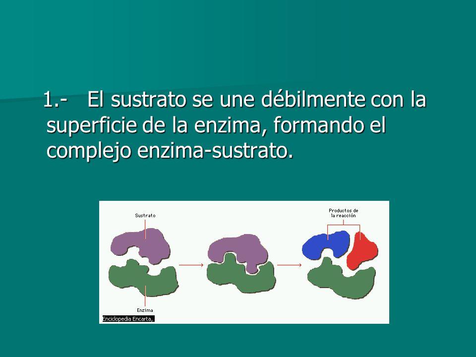 1.- El sustrato se une débilmente con la superficie de la enzima, formando el complejo enzima-sustrato. 1.- El sustrato se une débilmente con la super