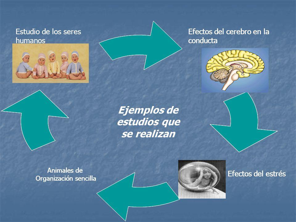 Ejemplos de estudios que se realizan Efectos del cerebro en la conducta Efectos del estrés Estudio de los seres humanos Efectos del cerebro en la conducta Efectos del estrés