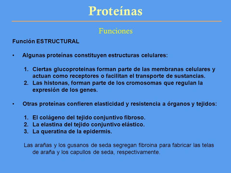 Proteínas Funciones Función ESTRUCTURAL Algunas proteínas constituyen estructuras celulares: 1.Ciertas glucoproteinas forman parte de las membranas ce