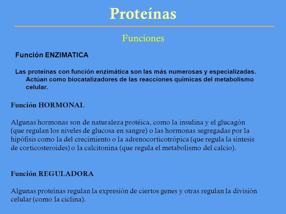 Proteínas Funciones Función ENZIMATICA Las proteínas con función enzimática son las más numerosas y especializadas. Actúan como biocatalizadores de la