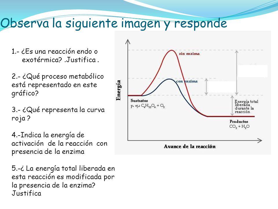 Observa la siguiente imagen y responde 1.- ¿Es una reacción endo o exotérmica?.Justifica. 2.- ¿Qué proceso metabólico está representado en este gráfic