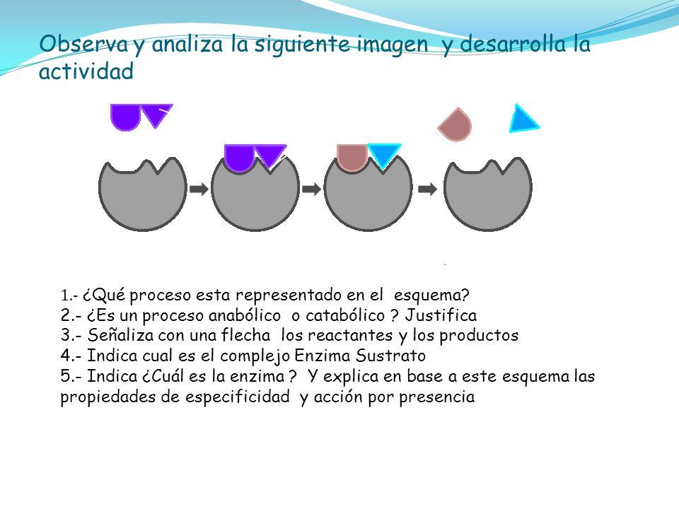 1.- ¿Qué proceso esta representado en el esquema? 2.- ¿Es un proceso anabólico o catabólico ? Justifica 3.- Señaliza con una flecha los reactantes y l