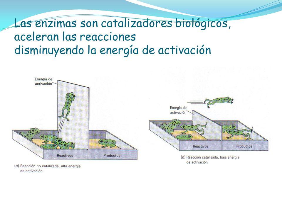 Las enzimas son catalizadores biológicos, aceleran las reacciones disminuyendo la energía de activación