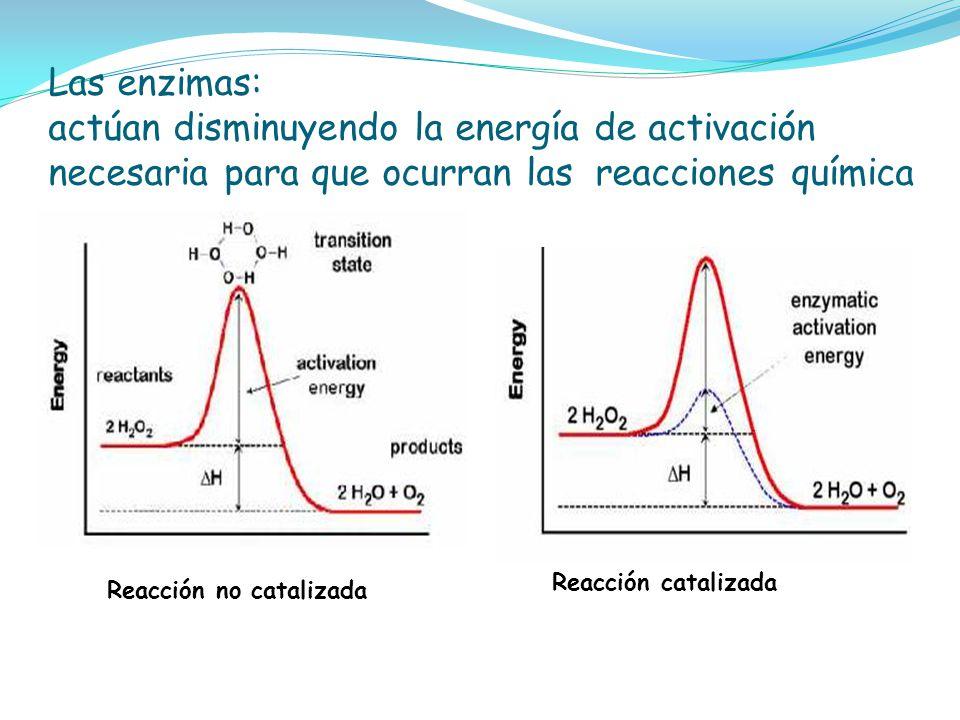 Las enzimas: actúan disminuyendo la energía de activación necesaria para que ocurran las reacciones química Reacción no catalizada Reacción catalizada