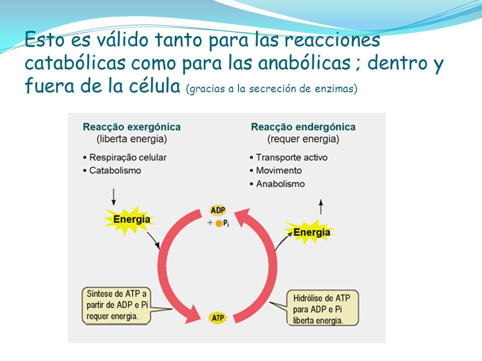 Esto es válido tanto para las reacciones catabólicas como para las anabólicas ; dentro y fuera de la célula (gracias a la secreción de enzimas)