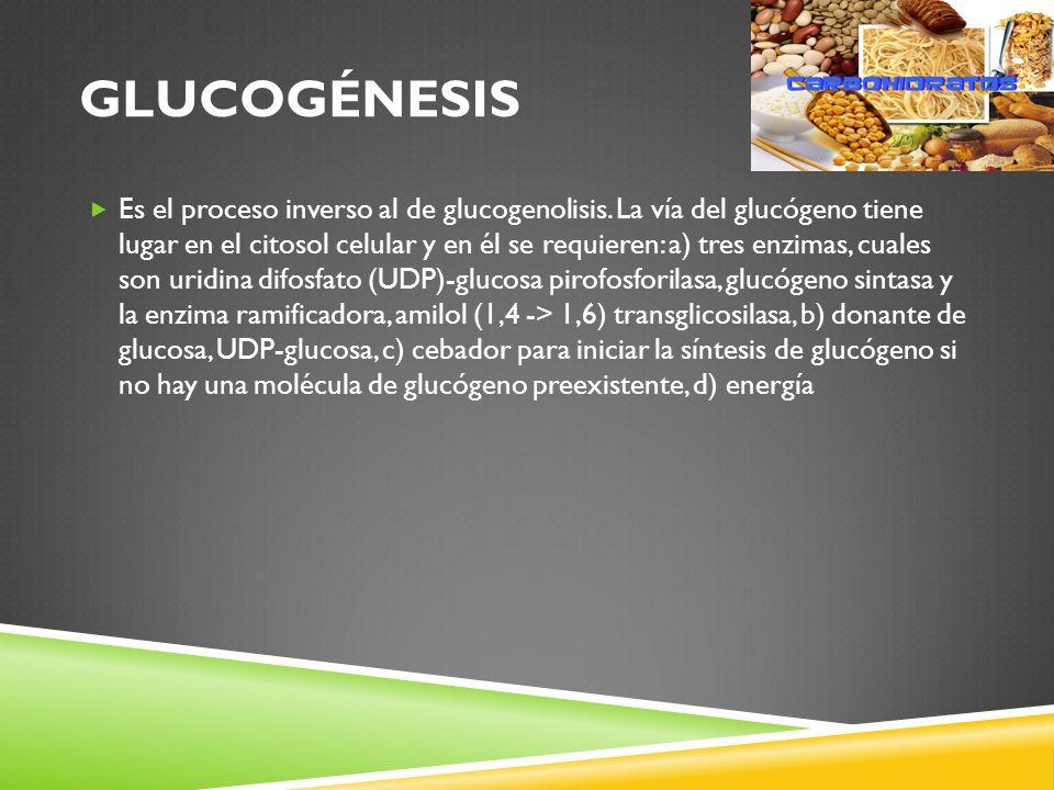 GLUCOGÉNESIS Es el proceso inverso al de glucogenolisis.