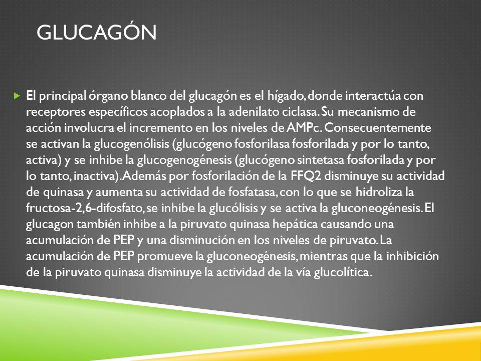 GLUCAGÓN El principal órgano blanco del glucagón es el hígado, donde interactúa con receptores específicos acoplados a la adenilato ciclasa.