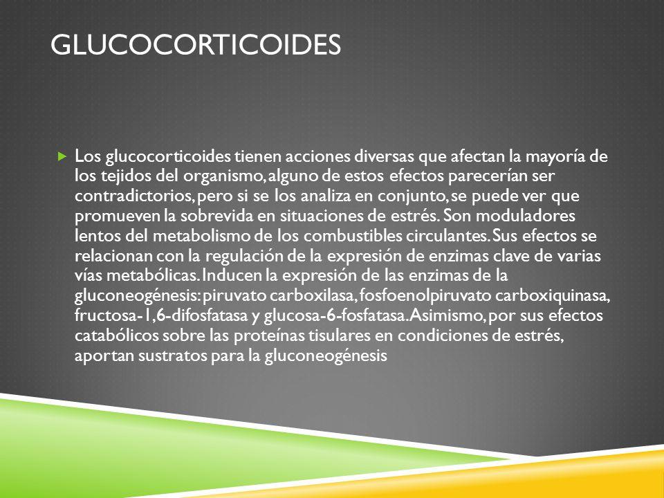 GLUCOCORTICOIDES Los glucocorticoides tienen acciones diversas que afectan la mayoría de los tejidos del organismo, alguno de estos efectos parecerían ser contradictorios, pero si se los analiza en conjunto, se puede ver que promueven la sobrevida en situaciones de estrés.