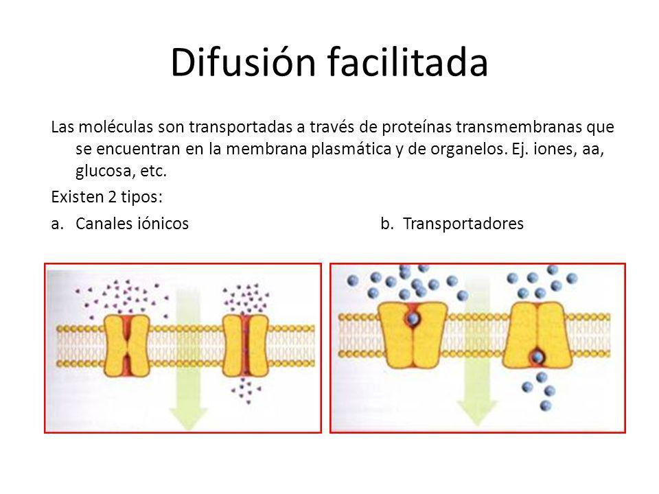 Difusión facilitada Las moléculas son transportadas a través de proteínas transmembranas que se encuentran en la membrana plasmática y de organelos. E