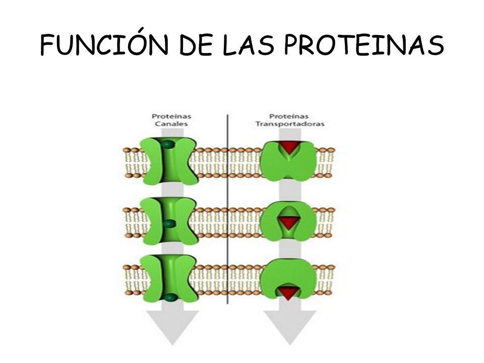 FUNCIÓN DE LAS PROTEINAS