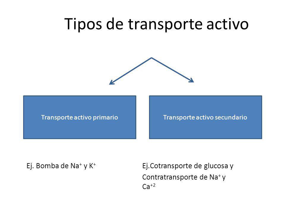 Tipos de transporte activo Ej. Bomba de Na + y K + Ej.Cotransporte de glucosa y Contratransporte de Na + y Ca +2 Transporte activo primarioTransporte
