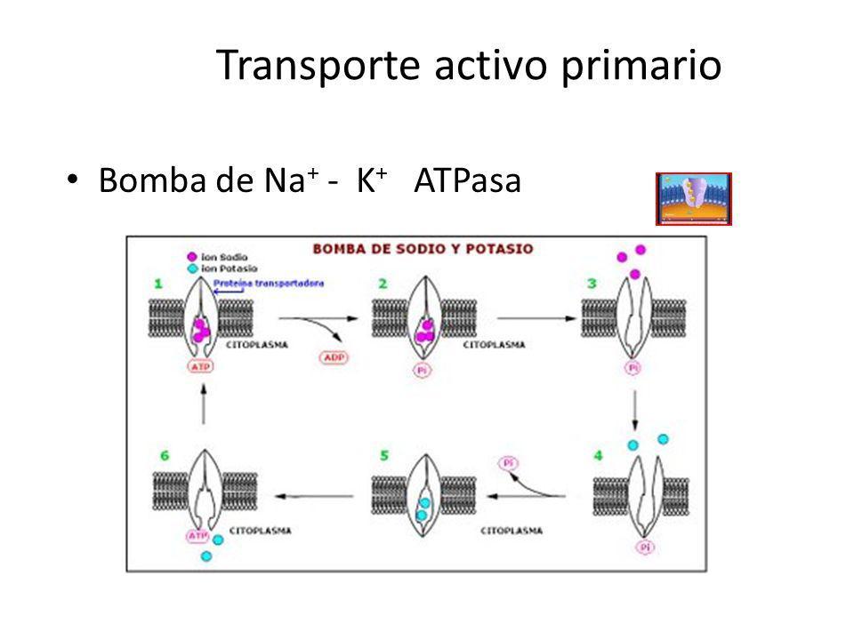 Transporte activo primario Bomba de Na + - K + ATPasa