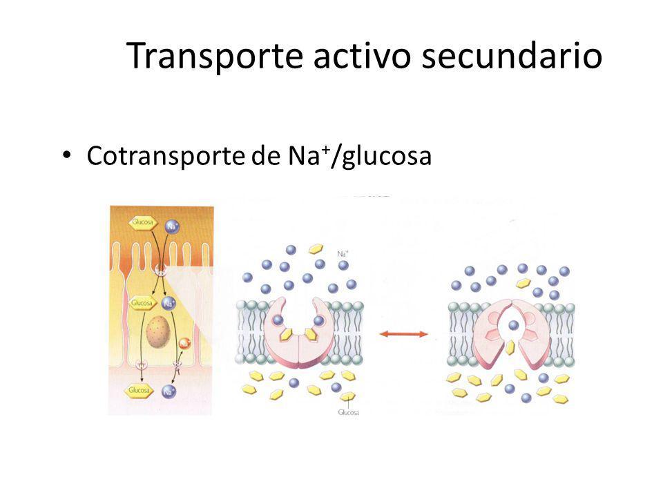 Transporte activo secundario Cotransporte de Na + /glucosa