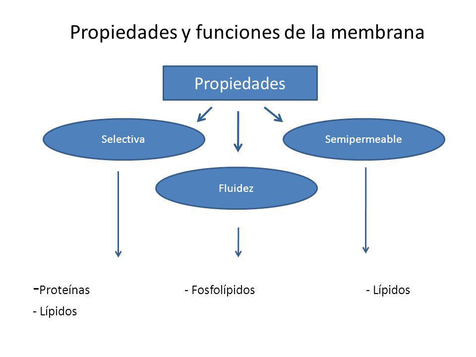 Propiedades y funciones de la membrana - Proteínas - Fosfolípidos - Lípidos - Lípidos Propiedades Fluidez SelectivaSemipermeable