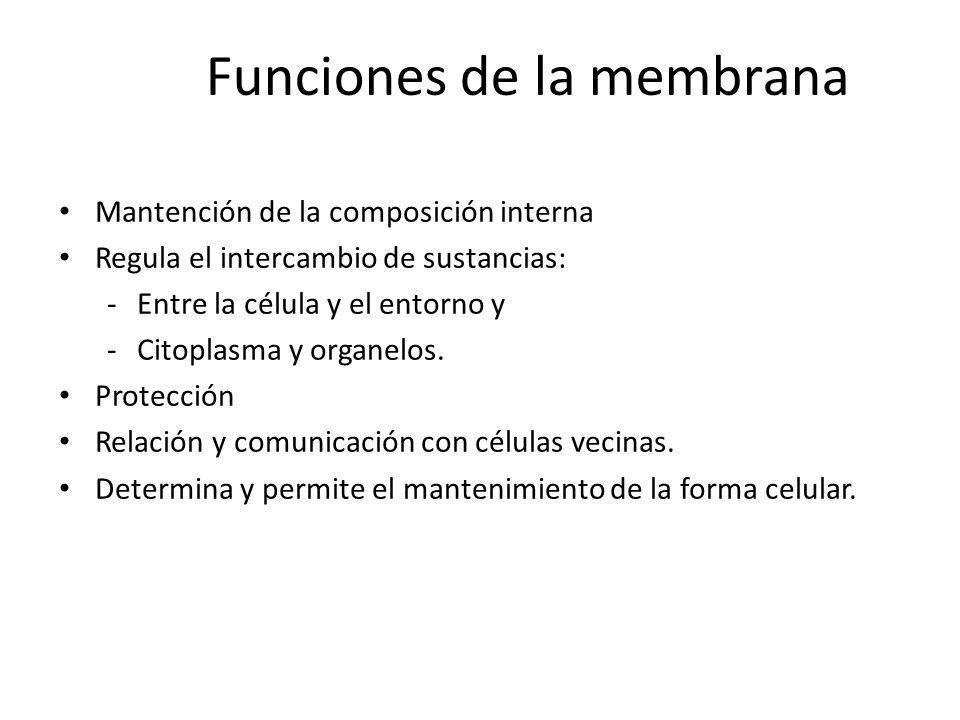 Funciones de la membrana Mantención de la composición interna Regula el intercambio de sustancias: -Entre la célula y el entorno y -Citoplasma y organ