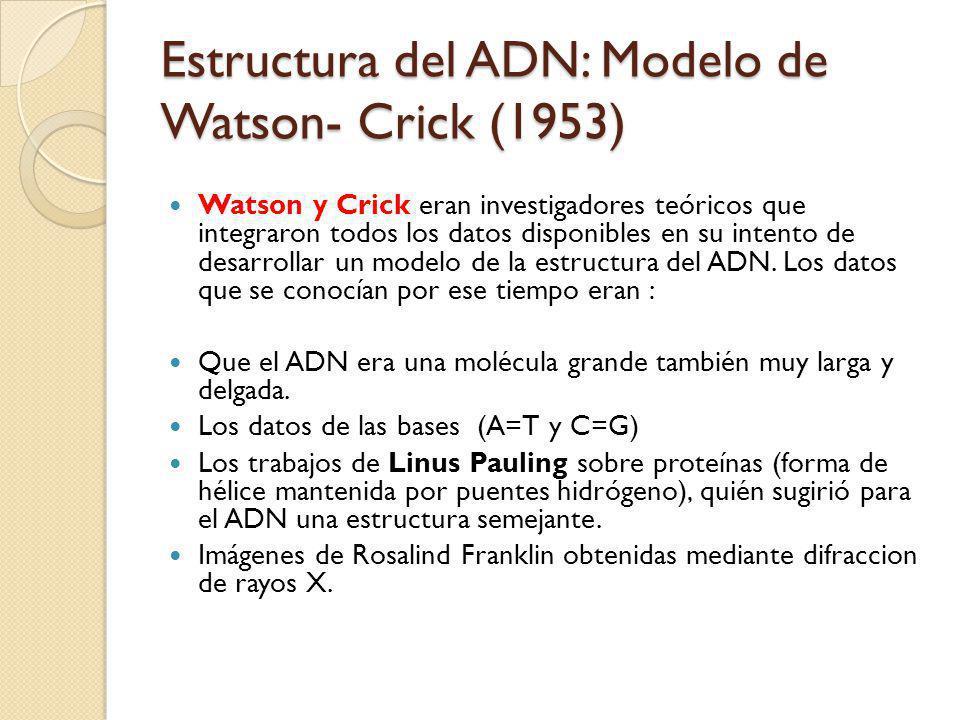 Estructura del ADN: Modelo de Watson- Crick (1953) Watson y Crick eran investigadores teóricos que integraron todos los datos disponibles en su intento de desarrollar un modelo de la estructura del ADN.