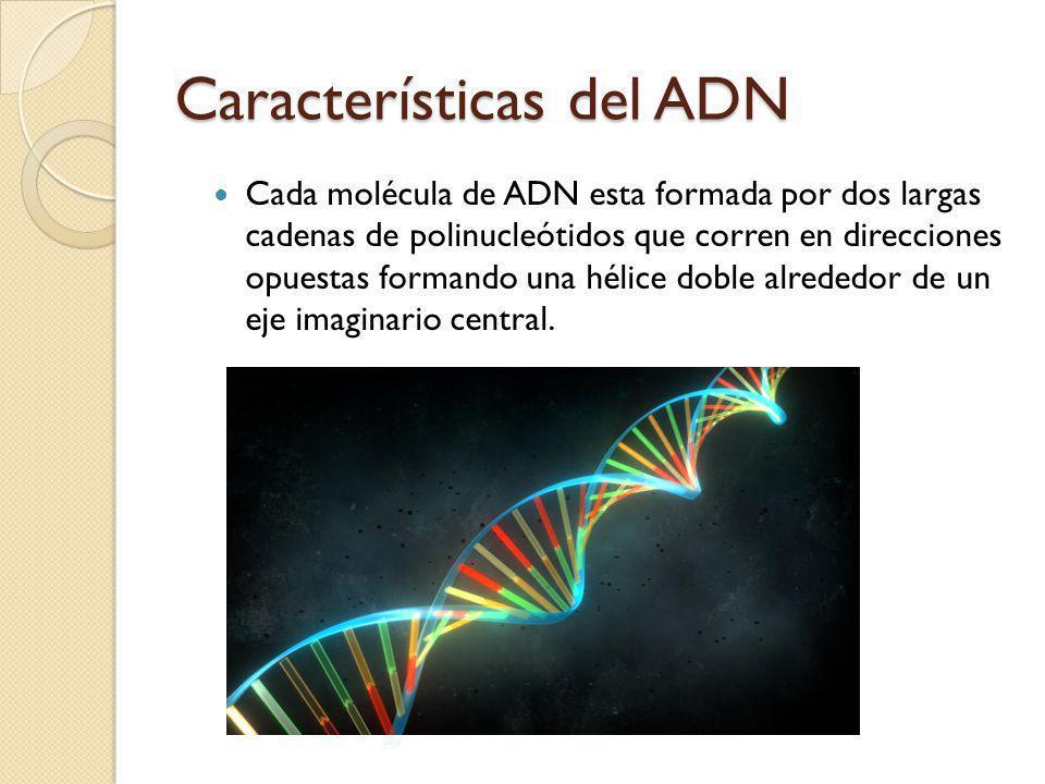 Características del ADN Cada molécula de ADN esta formada por dos largas cadenas de polinucleótidos que corren en direcciones opuestas formando una hélice doble alrededor de un eje imaginario central.