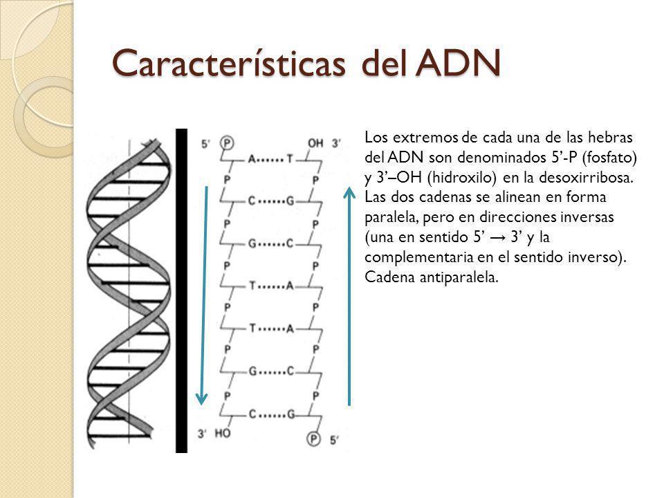 Los extremos de cada una de las hebras del ADN son denominados 5-P (fosfato) y 3–OH (hidroxilo) en la desoxirribosa.