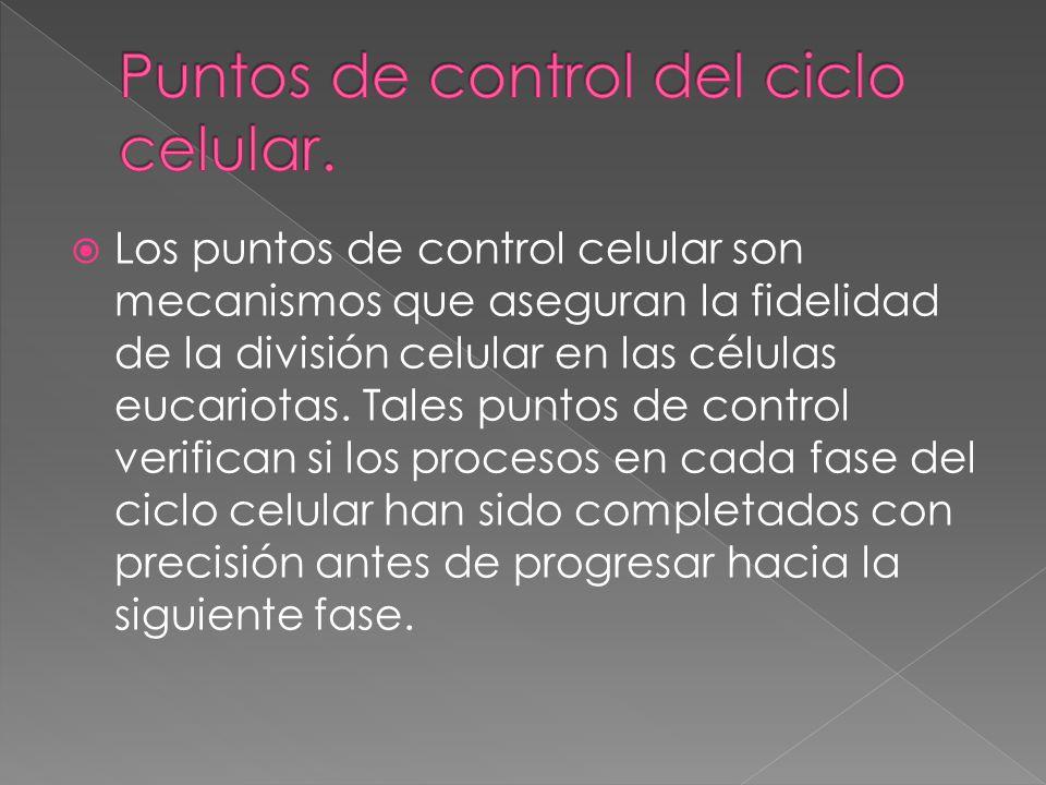 Los puntos de control celular son mecanismos que aseguran la fidelidad de la división celular en las células eucariotas. Tales puntos de control verif
