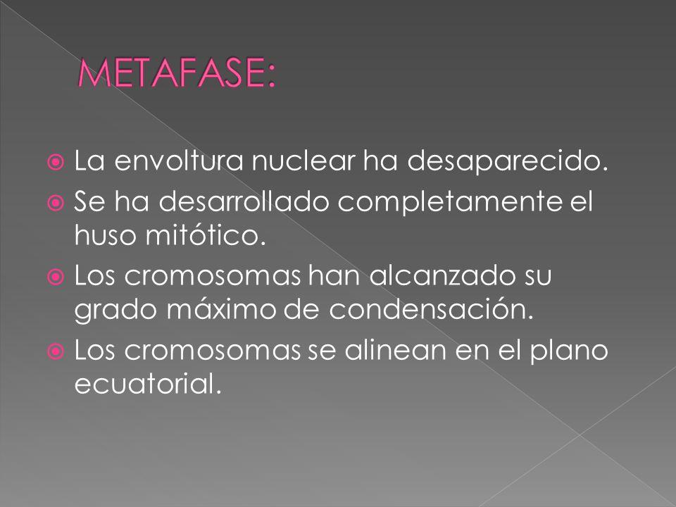 La envoltura nuclear ha desaparecido. Se ha desarrollado completamente el huso mitótico. Los cromosomas han alcanzado su grado máximo de condensación.