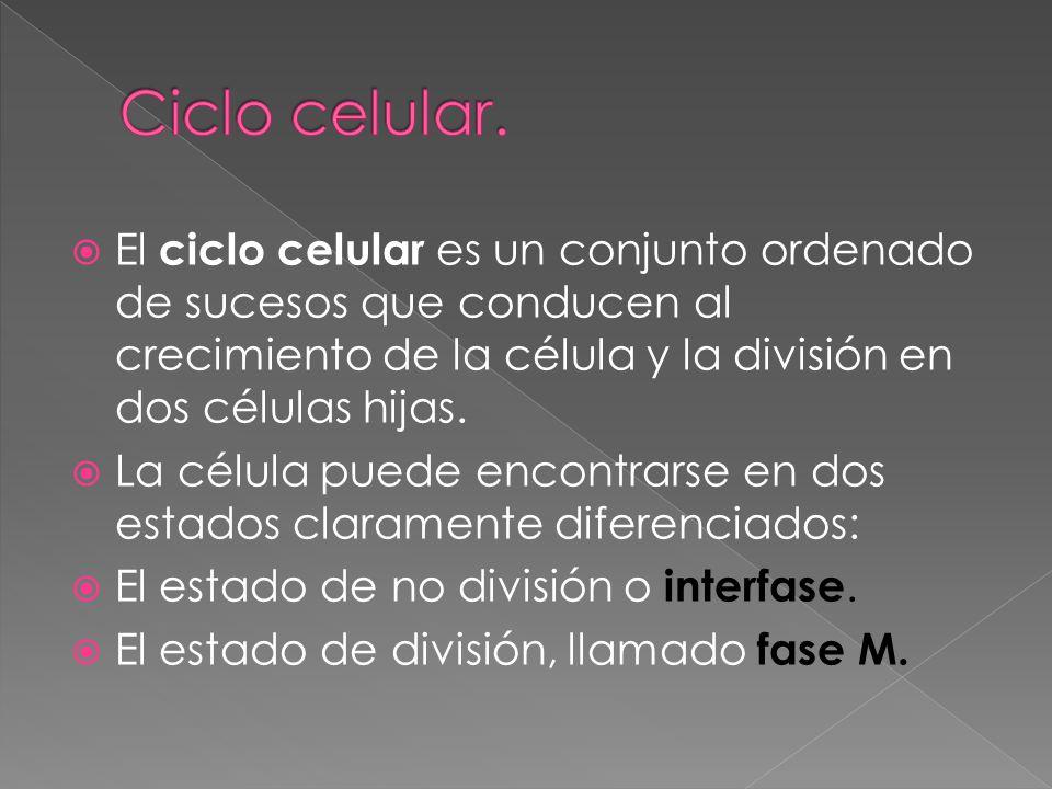 El ciclo celular es un conjunto ordenado de sucesos que conducen al crecimiento de la célula y la división en dos células hijas. La célula puede encon