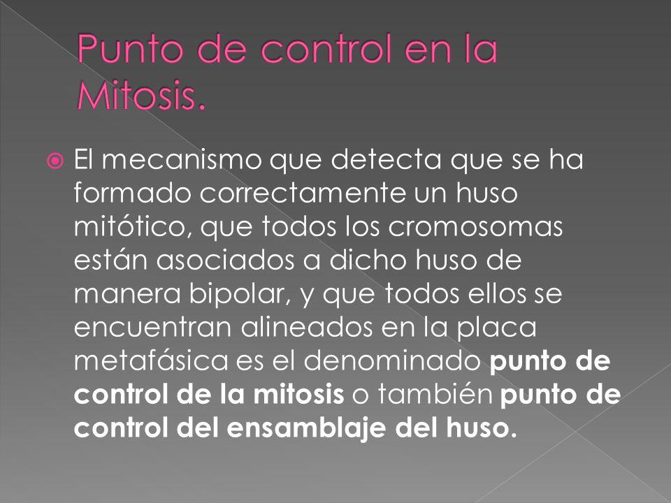 El mecanismo que detecta que se ha formado correctamente un huso mitótico, que todos los cromosomas están asociados a dicho huso de manera bipolar, y