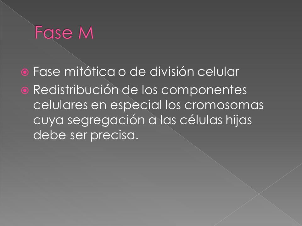Fase mitótica o de división celular Redistribución de los componentes celulares en especial los cromosomas cuya segregación a las células hijas debe s