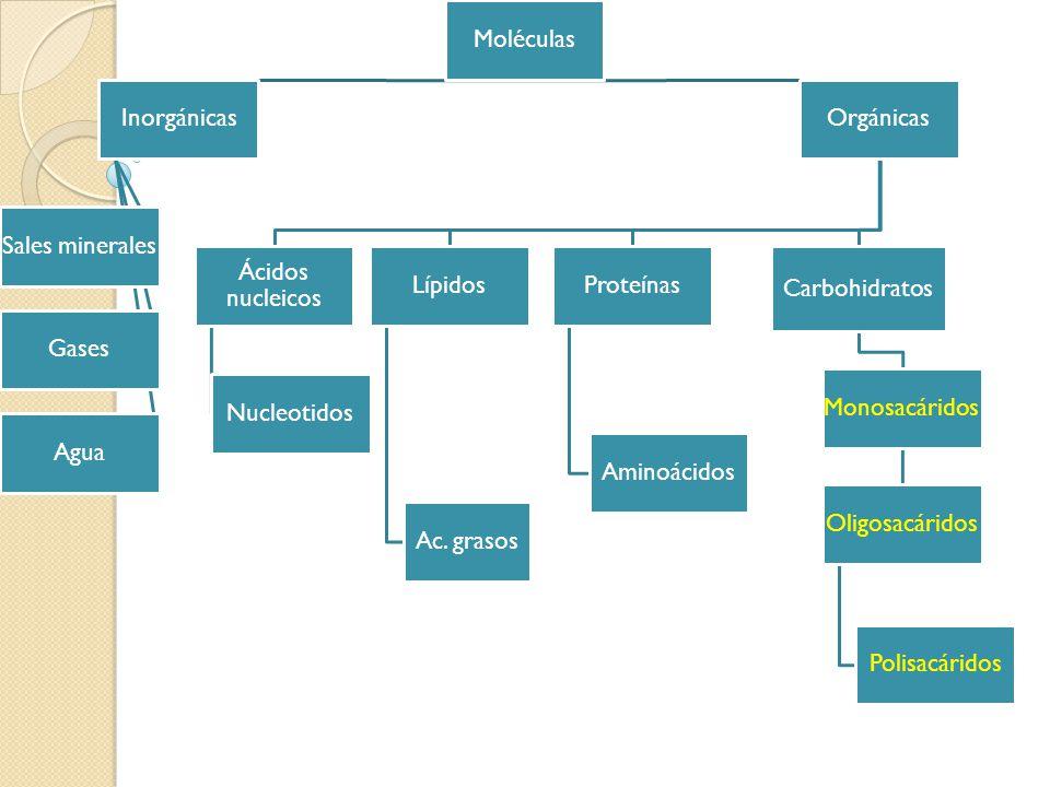 Moléculas Inorgánicas Sales minerales Gases Agua Orgánicas Ácidos nucleicos Nucleotidos Lípidos Ac. grasos Proteínas Aminoácidos Carbohidratos Monosac
