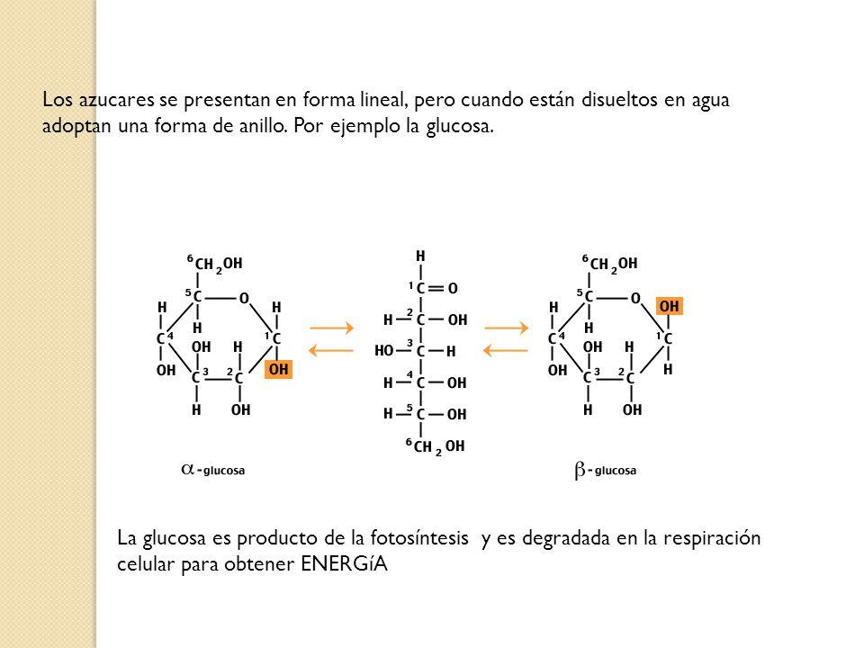 Los azucares se presentan en forma lineal, pero cuando están disueltos en agua adoptan una forma de anillo. Por ejemplo la glucosa. La glucosa es prod