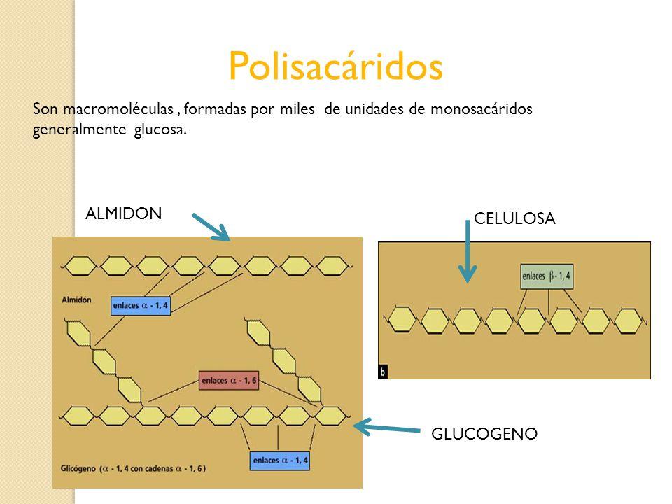 Polisacáridos Son macromoléculas, formadas por miles de unidades de monosacáridos generalmente glucosa. ALMIDON CELULOSA GLUCOGENO